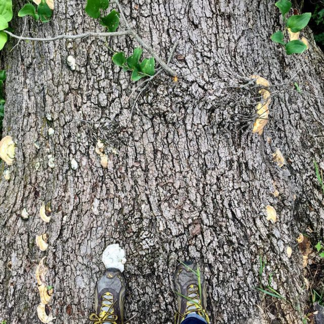 standing on the base of the massive oak tree onhellip